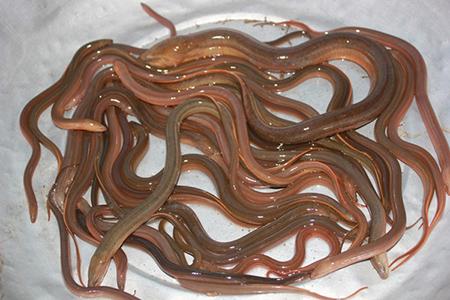 Bạn nên chọn loại lươn kích cỡ vừa phải không quá to.