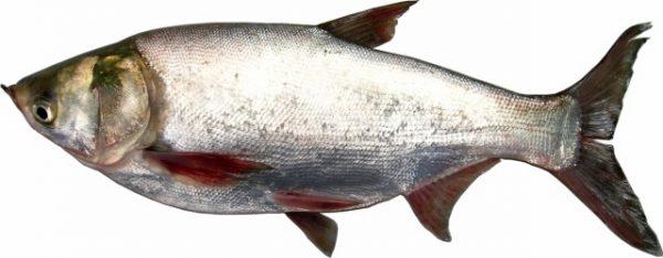 Món ăn từ cá mè