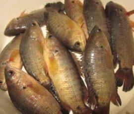 Cá rô đồng - những công dụng ít ai biết đến