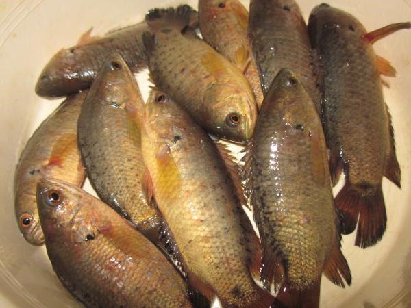 Món ăn bài thuốc từ cá rô đồng