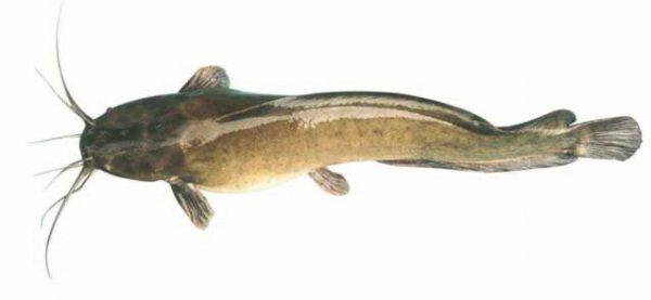 Cá trê chữa bệnh gì?
