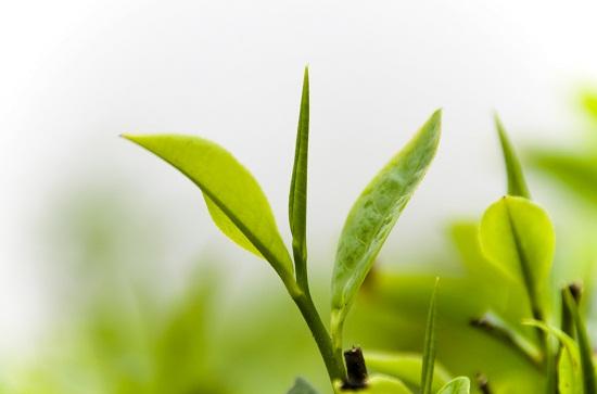 Chè xanh có tác dụng chữa một số bệnh thông thường