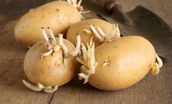 Không sử dụng khoai tây mọc mầm