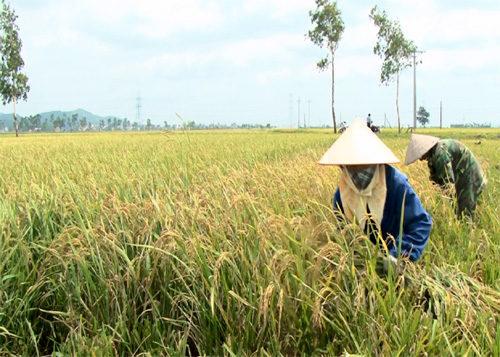 Quy hoạch vùng sản xuất lúa thơm tập trung