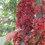 Trái cây Lái Thiêu nổi tiếng của tỉnh Bình Dương