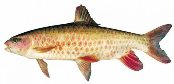 Cá bỗng