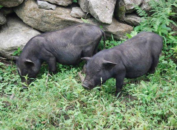 Lợn cắp nách ăn cây cỏ