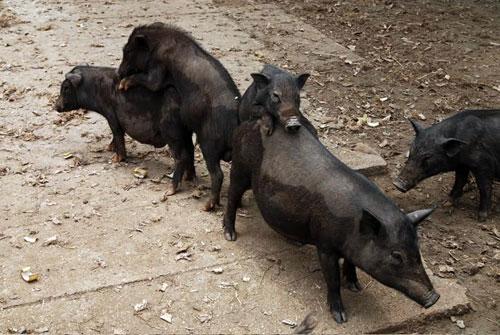 Lợn cắp nách thả rông
