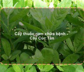 Bài thuốc từ cây cúc tần đơn giản mà hiệu quả