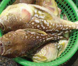 Loại hải sản có lượng độc tố cao gây chết người