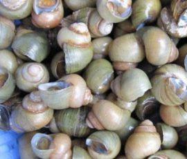 Ốc gạo Tân Phong - Món đặc sản Tiền Giang