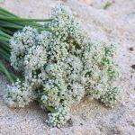 Ngồng hoa hành Lý Sơn – món quà mùa biển động