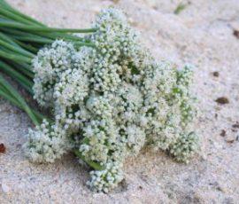 Ngồng hoa hành Lý Sơn - món quà mùa biển động