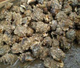 Món Ốc Cùi đặc sản nức tiếng của Kiên Giang