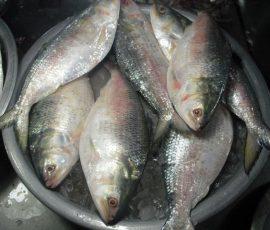 Cá Cháy Vĩnh Long - Đặc sản quý hiếm của miền sông nước