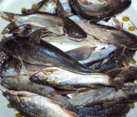 Cá chốt Gia Lai - Món cá ngon tuyệt của phố núi