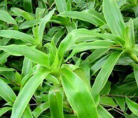 Công dụng của cây lược vàng với sức khỏe