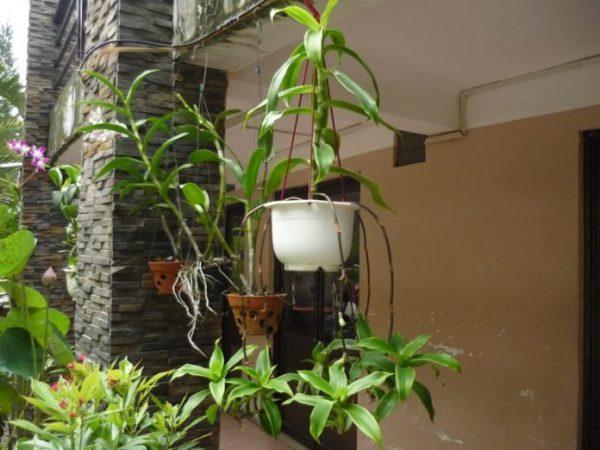 Cây lược vàng làm sạch không khí