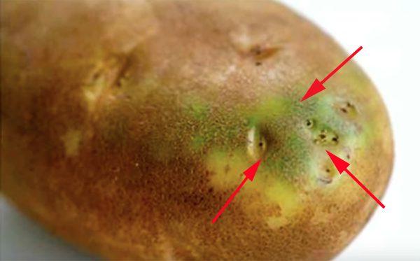 Khoai tây ngả màu xanh có nồng độ solanine cao