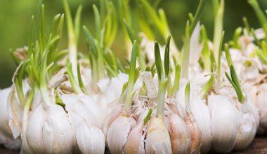 Tỏi mọc mầm ăn có tốt và an toàn không?